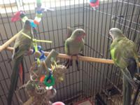 I have a Princess of wales parrot baby/teen ready for