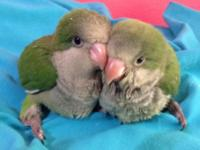 I have green Quaker babies. The rehoming fee is $125