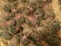 I have 100 Green Quaker babies for sale, asking $120 a