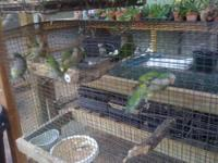 I have 9 weaned green Quakers available right