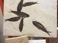 Green River Formation Fossil Fish Many To Choose From