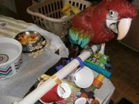 Hand fed baby green wing Macaw... Saddened to say I am