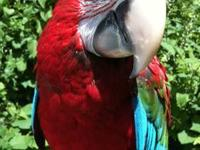 There is a baby male Green Wing Macaw hatched 1/28/12,
