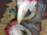 I have pretty Green Wing Macaw baby 2 months old hand
