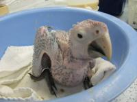 Green Wing Macaw baby hatched 4-10-2013. Still hand