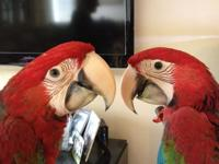 Animal Type: Birds Breed: macaws Green Wing Macaws