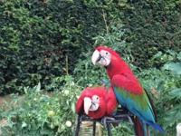 Gentle giants red macaws 2and largest in the world