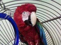 Green Winged Macaw for sale. 'Kumba' is 12 years old,