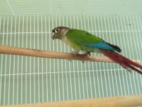 I have three older green cheek conures as follows: One