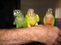 Three normal greencheek conures, Handfed and tame. All
