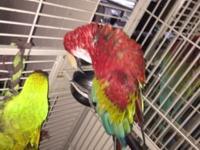 Greenwing macaw needs good home 1,250 Military macaw