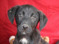 Greg is a 13 week old Labrador Retriever mix.