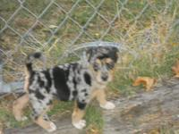 Greman Australian Shepherd Puppy ONLY 1 Female left , 6