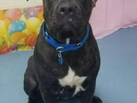 This 1 year old Pit mix is Greta. Greta was surrendered