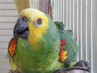Greta is a wild caught Blue front amazon, born in 1990.