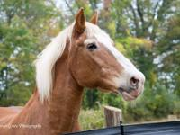 Gretchen is a Belgian mare in her mid to late 20s. She