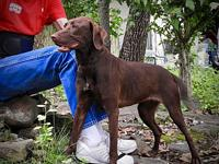 My story Young Chocolate Lab mix female - she is food
