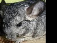 parker a one year old grey chinchilla we were going to