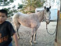 """Freckles"" is a 5 year old grey mare. She has been"