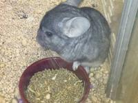 Boomer is about 8 months old and is a grey chinchilla.