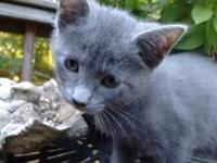 Animal Type: Cats Breed: Kitten The female is all grey