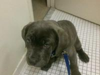I have 1 male Cane Corso puppy left, born 10/19. He