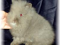 i have a grey male lion head rabbit that is a great