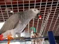 -We have two of African Grey Parrots.The parrots are