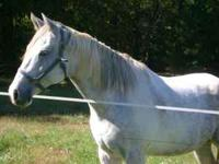 I have a 16.1 hh grey and white quarter horse paint