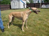 Greyhound - Atascocita Hague - Large - Adult - Male -