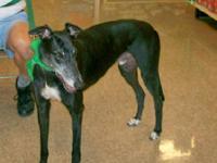 Greyhound - Avalon - Large - Adult - Male - Dog Avalon
