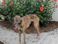 Greyhound - Betty - Large - Young - Female - Dog Betty