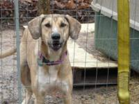 Greyhound - Bluebell - Medium - Young - Female - Dog