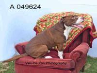 Greyhound - Bubba - Large - Adult - Male - Dog