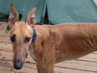 Greyhound - Cobalt - Large - Adult - Male - Dog Race
