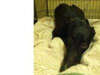 Greyhound - Corey - Large - Adult - Female - Dog Race