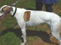 Greyhound - Corky - Large - Young - Male - Dog Corky is