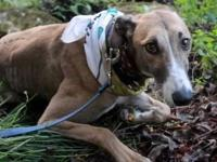 Greyhound - Crt Freida - Large - Young - Female - Dog