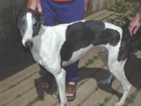 Greyhound - Daffy - Large - Young - Male - Dog