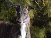 Greyhound - Dixie - Large - Adult - Female - Dog