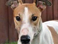 Greyhound - Enzo - Large - Young - Male - Dog Race name