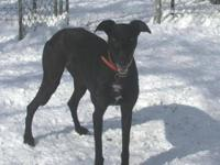 Greyhound - Haven - Large - Adult - Female - Dog This