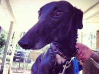 Greyhound - Hugo - Large - Adult - Male - Dog Race