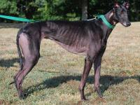 Greyhound - Kansas - Large - Adult - Female - Dog