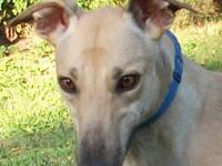 Greyhound - Latte - Large - Adult - Female - Dog