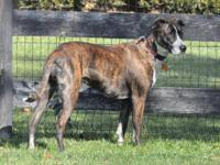 Greyhound - Laurie - Large - Adult - Female - Dog