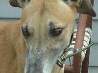 Greyhound - Lydia - Large - Adult - Female - Dog Lydia