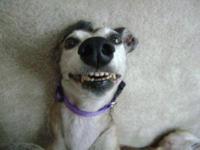 Greyhound - Malibu - Large - Senior - Female - Dog Race
