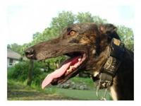 Greyhound - Mariah - Large - Adult - Female - Dog