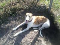 Greyhound - Mary C - Extra Large - Adult - Female -